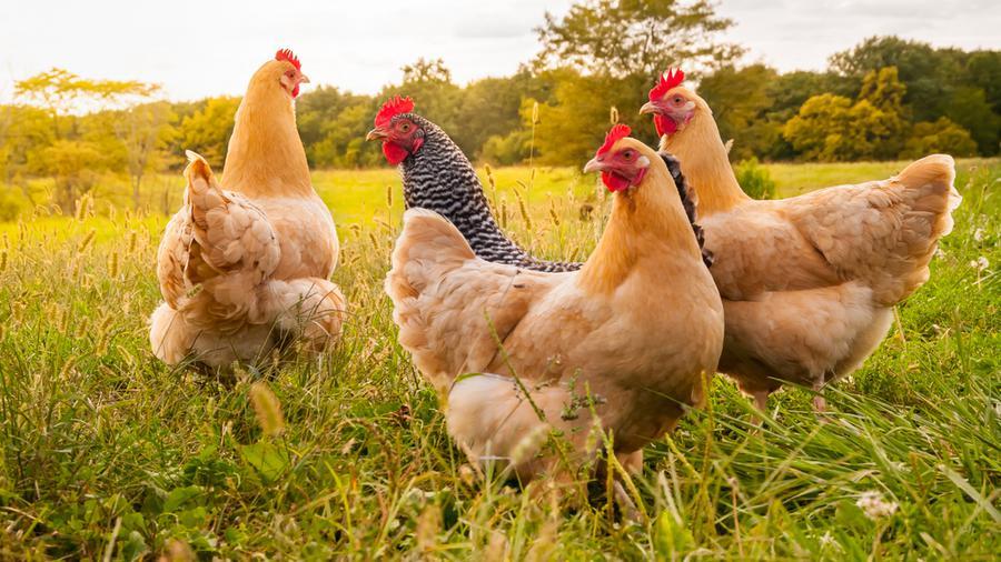 Czym powinno charakteryzować się ogrodzenie dla kur? Przegląd bezpiecznych i skutecznych ogrodzeń.